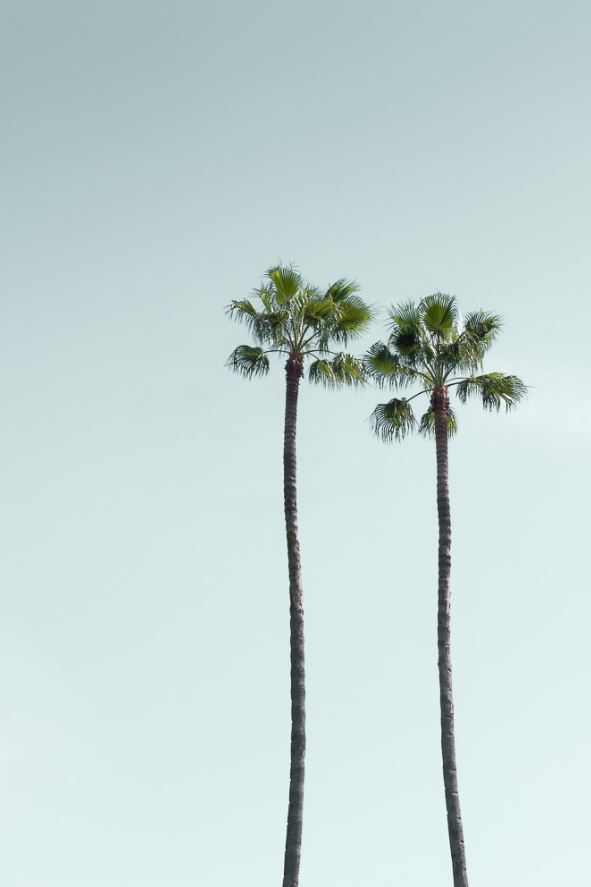 Bild Los Angeles Palmen