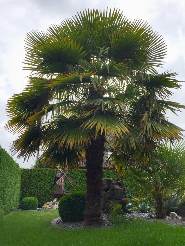 Frostharte Palmenart