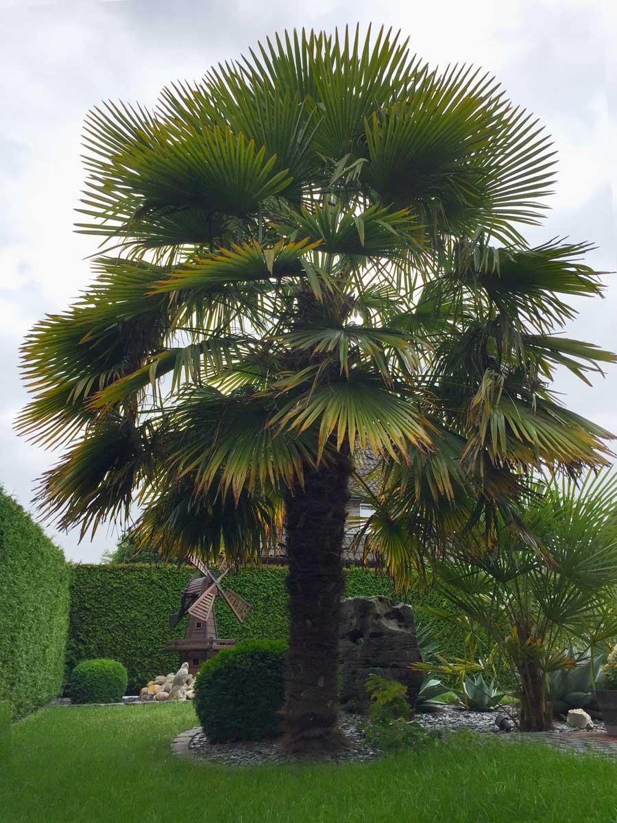 trachycarpus fortunei winterharte chinesische hanfpalme auf merloy. Black Bedroom Furniture Sets. Home Design Ideas