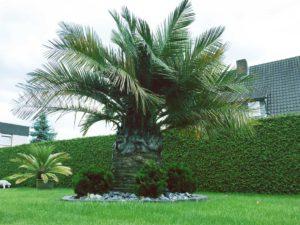 Jubaea chilensis oder auch Honigpalme genannt, ausgepflanzt in Palmen Deutschland