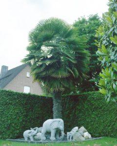 große chinesische Hanfpalme mit schöner Krone in Deutschland ausgepflanzt