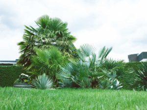 ausgepflanzte und winterharte Palmen in NRW