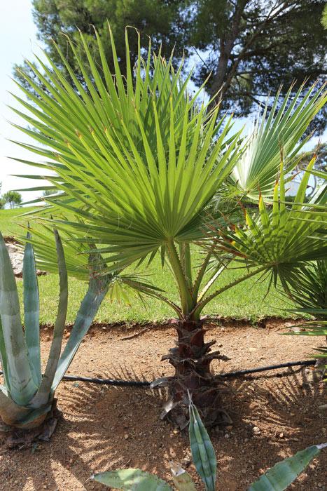 bei der Washingtonia Robusta handelt es sich um eine sehr schnell wachsende Palmenart