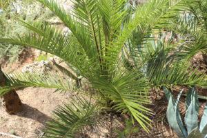 kanarische Dattelpalme (phoenix canariensis) am Wegesrand
