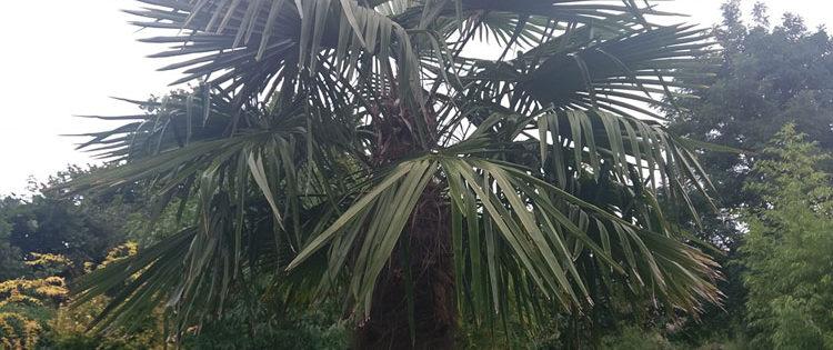 Trachycarpus Fortunei - die wohl am besten geeignete Palme für Deutschland