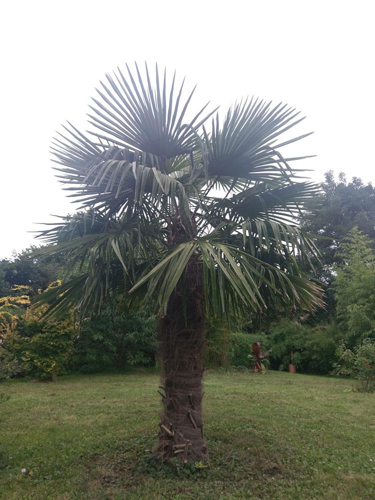 große seit Jahren ausgepflanzte Trachycarpus fortunei in Niedersachsen