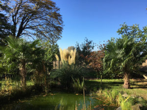 Trachycarpus Fortunei in Hasbergen