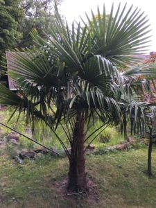 alle Wedel dieser Palme haben noch Kraft und stehen kraftvoll Richtung Himmel