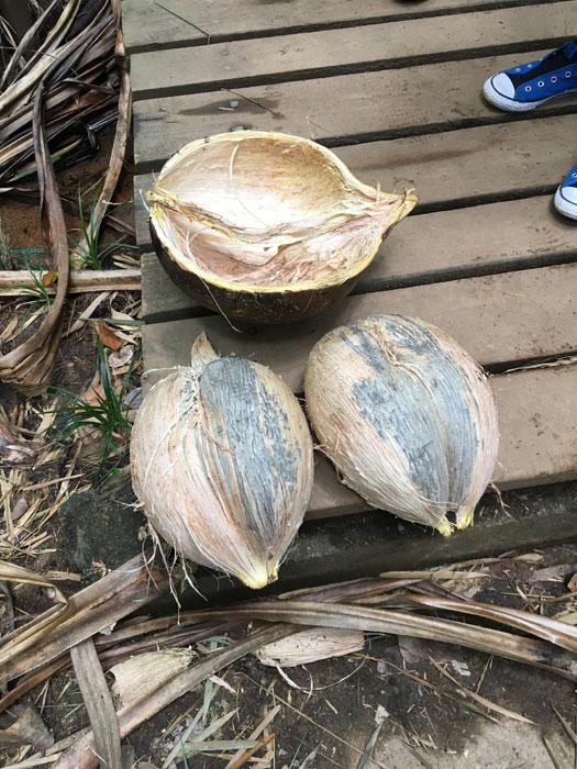 Kokosnuss auf den Seychellen