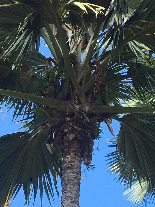 männliche Variante der Coco De Mer Palme