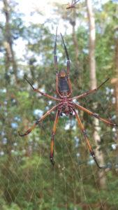 riesige Spinne auf den Seychellen