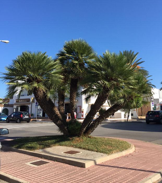 Chamaerops Humilis in Cala Dór auf Mallorca