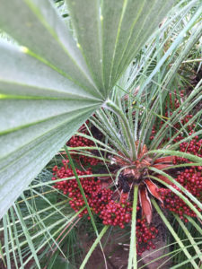 Palmensamen an der Pflanze Chamaerops Humilis