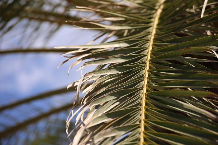 Wedel einer kanarischen Dattelpalme oder auch phoenix canariensis