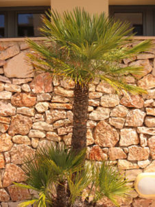 Chamaerops Humilis in Spanien