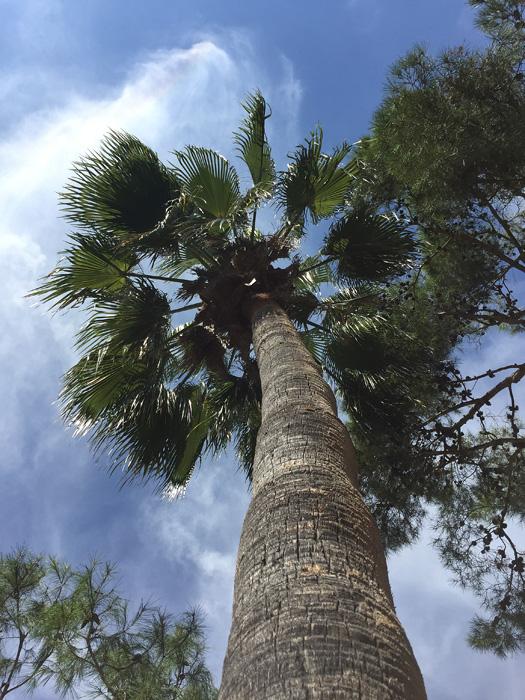gesundes und groß gewachsenes altes Exemplar der Petticoat Palme