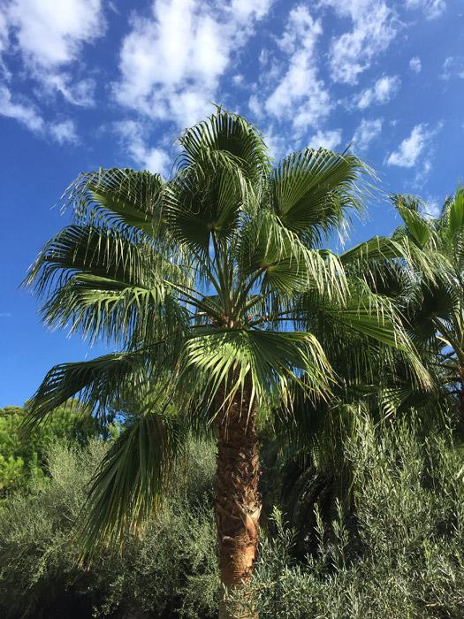 zahlreiche Palmwedel in gesundem grün