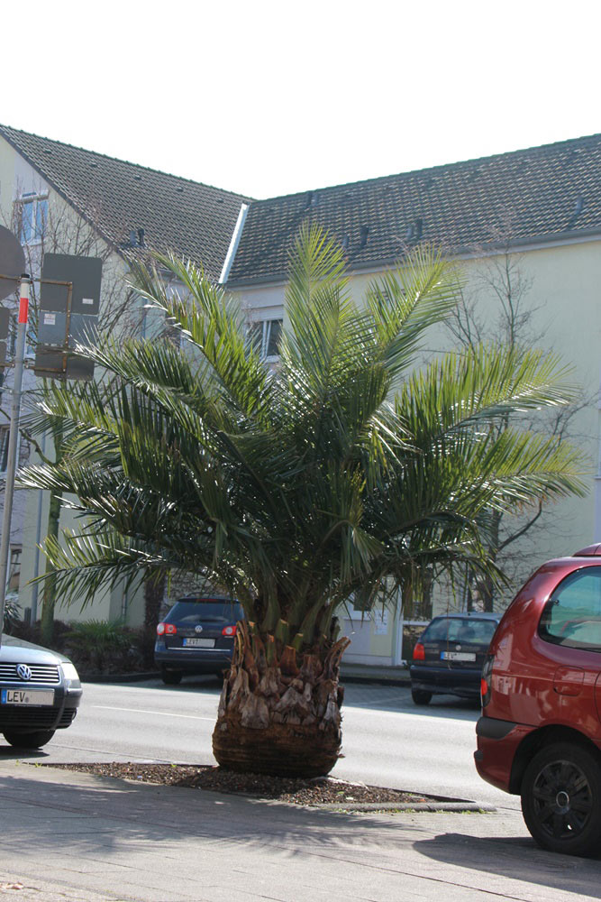 wunderbare Palme in Leverkusen
