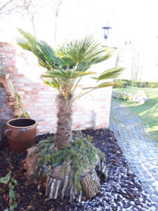 winterharte Palme im Topf: Trachycarpus Wagnerianus