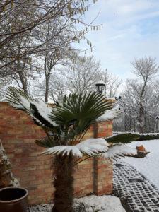 winterharte Trachycarpus wagnerianus im Schnee