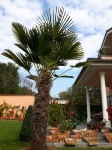 Palmen im mediterranen Garten in Deutschland