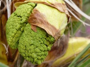 Blüten der weiblichen Trachycarpus Fortunei in einem frühen Stadium