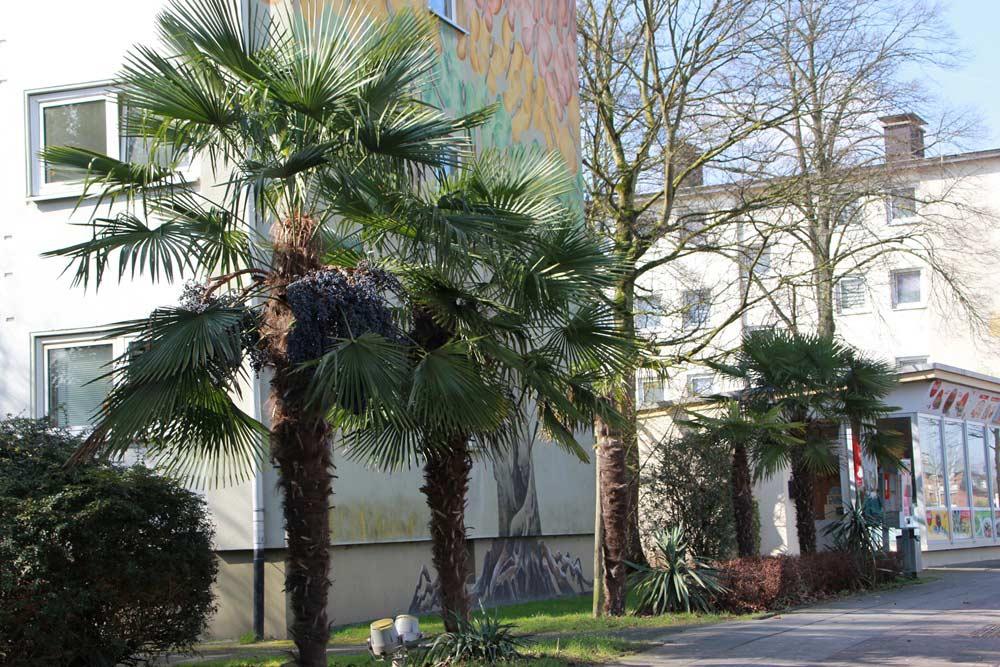 Palmen in Deutschland: große ausgepflanzte Hanfpalmen