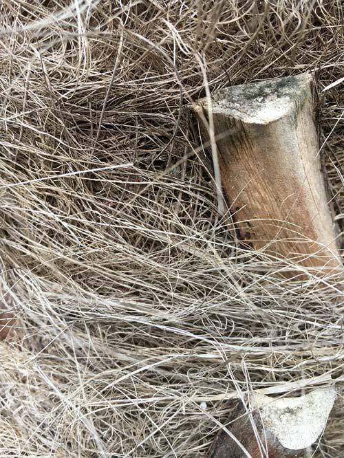 Detailaufnahme des Stammes einer chinesischen Hanfpalme oder auch Trachycarpus fortunei genannt