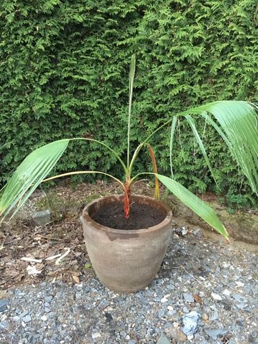 vertrocknete Wedel und der beginn der Austrocknung bei zwei weiteren der Palme