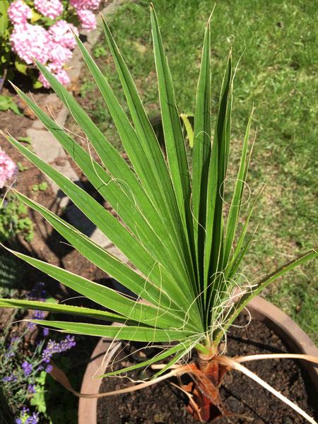 Ein Blatt nach dem anderen wird hier geschoben und die Washingtonia robusta legt ein stetes Wachstum hin