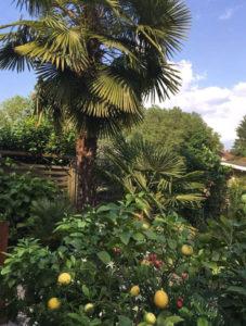 eine ausgepflanzte Trachycarpus fortunei mit 8 Metern Höhe
