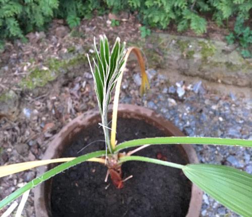 das Wachstum der Washingtonia robusta oder auch Petticoat Palme beginnt wieder