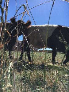 Kühe auf der Weide gehören natürlich auch dazu