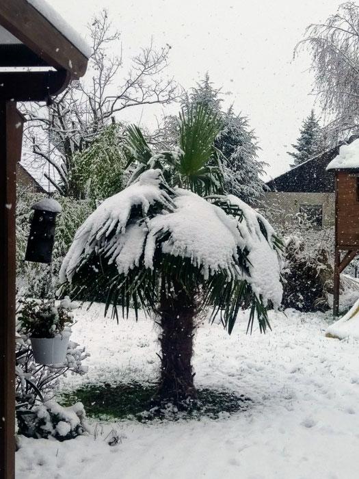 winterharte Palme in einem deutschen Garten