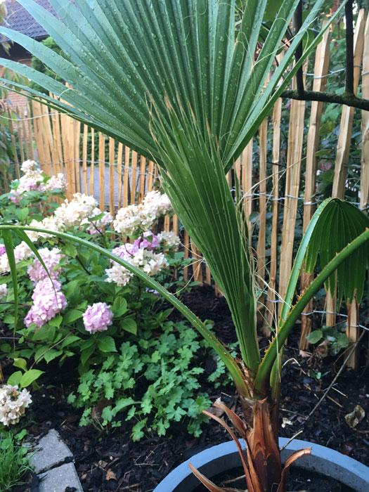 Washingtonia robusta im Landhausgarten