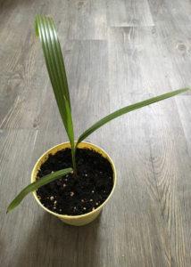 schnelles Wachstum der Hanfpalme
