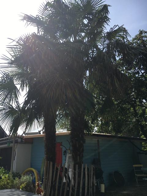 männliche und weibliche Trachycarpus fortunei nebeneinander