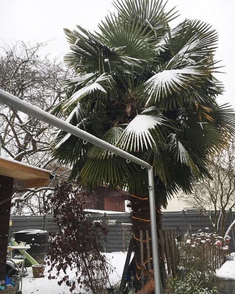 Hanfpalmen mit Schnee bedeckt