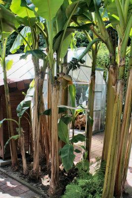 Bild der Bananen Pflanzen Musa basjoo im dinslakener garten