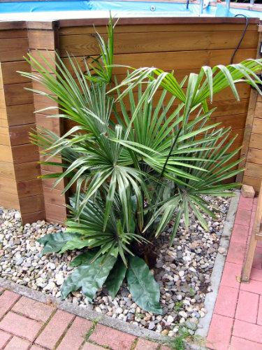 Bild der frisch gepflanzten Hanfpalme im Garten vor einigen Jahren