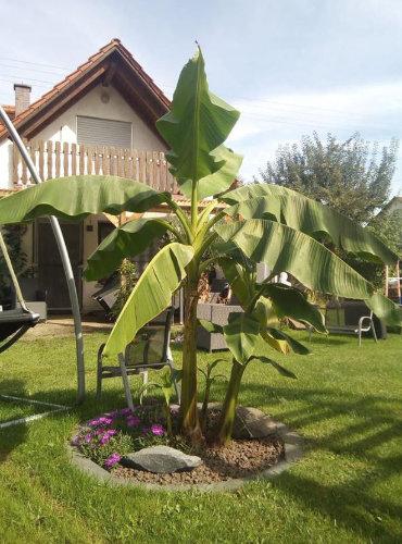 Bild: Musa Basjoo Bananen Pflanze in Bayern