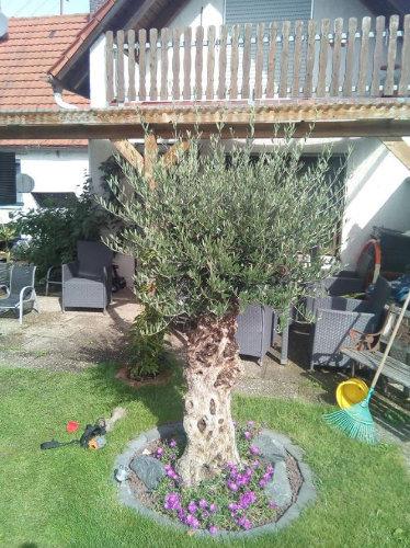 Bild eines in Bayern ausgepflanzten Olivenbaumes