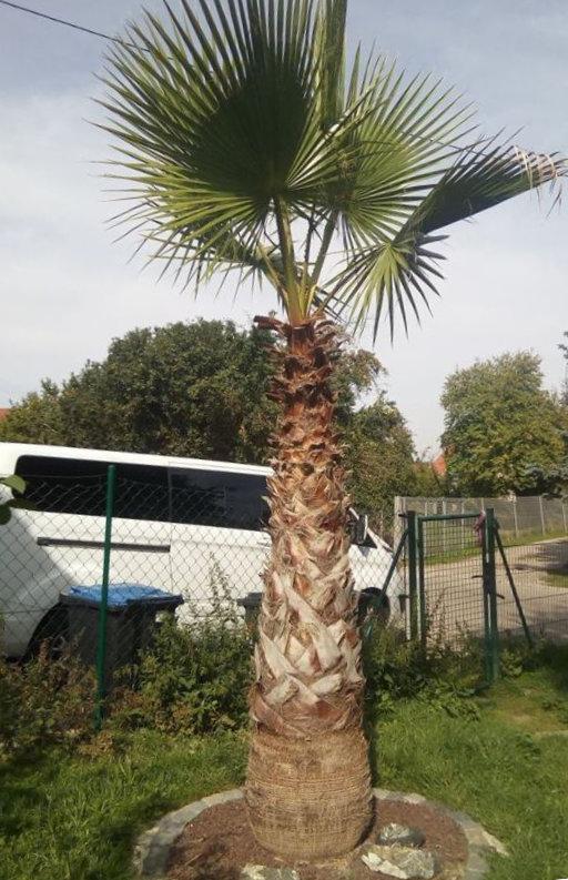Bild: ausgepflanzte Washingtonia robusta in Deutschland