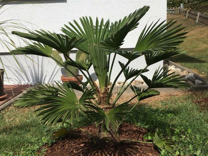Bild einer Trachycarpus wagnerianus im geschätzten Alter von ca. 5 Jahren