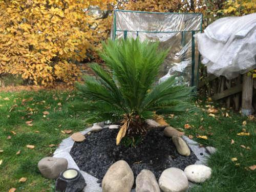 Bild des ausgepflanzten Cycas revoluta Palmfarn