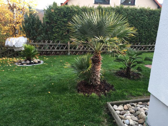 Bild einer ausgepflanzten Chamaerops humilis Zwergpalme in Torstens Garten