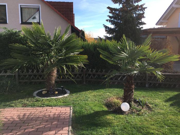 Bild: ausgepflanzte Tessiner Palmen in Torstens Garten