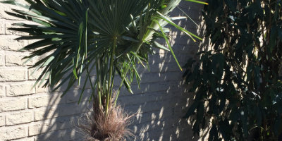 Bild einer Trachycarpus fortunei oder auch chinesische Hanfpalme genannt, welches zur Unterseite mit vielen weiteren Info´s verlinkt ist