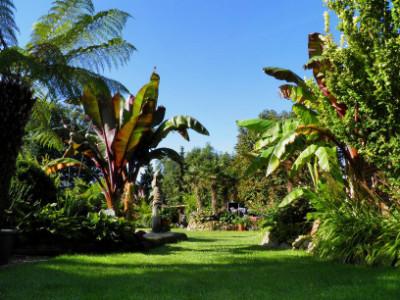 sehr große Bananenpflanzen im Garten