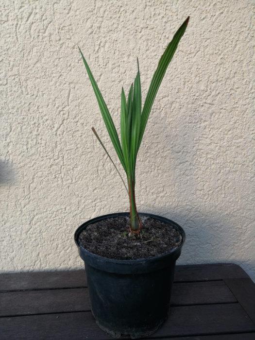 Bild einer Jubaea chilensis oder auch Honigpalme genannt im Topf